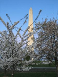Washington Monument through cherry blossoms